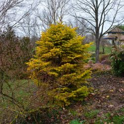 Abies nordmanniana 'Golden Spreader' environ 25 ans - Bois marquis