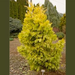 Calocedrus decurrens 'Berrima Gold'