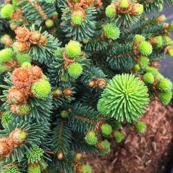 Picea abies 'Zillertal'