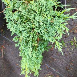 Juniperus horizontalis 'Ice Blue'