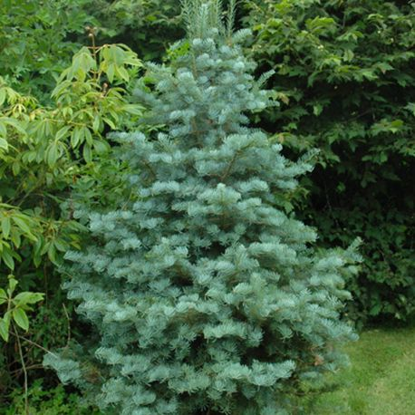 Abies concolor 'Archers Dwarf'