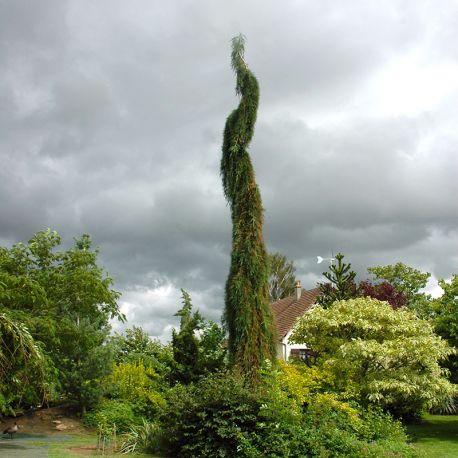 sequoiadendron giganteum 39 pendulum 39 p pini re des laurains. Black Bedroom Furniture Sets. Home Design Ideas