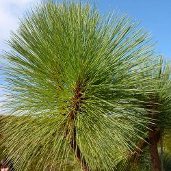 Pinus montezumae 'Sheffield Park'