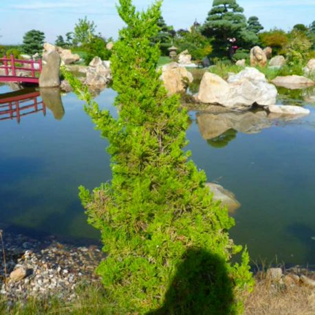 Juniperus chinensis 'Kaizuka'