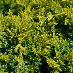 Juniperus squamata 'Dream Joy'