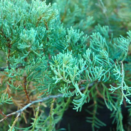 Juniperus virginiana 'Grey Owl'