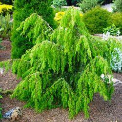 Juniperus communis 'Horstmann'