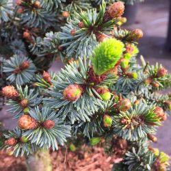 Picea omorika (ou obovata) 'De Ruyter'