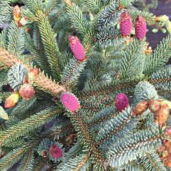 Picea glauca 'Blue star'