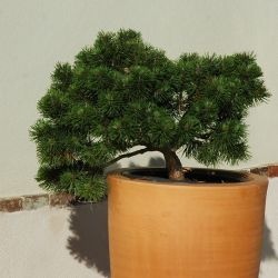 Pinus mugo 'March'