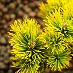 Pinus mugo 'Carsten'