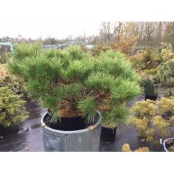 Pinus resinosa 'Don Smith'