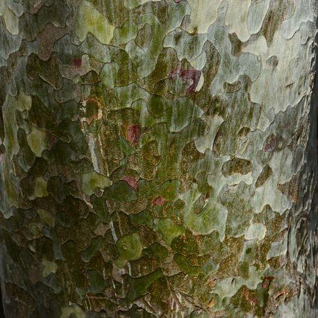 Pinus bungeana ''