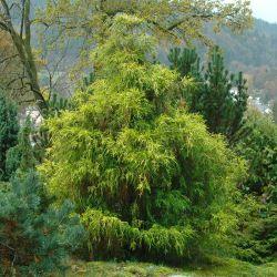 Chamaecyparis pisifera 'Filifera Aurea'