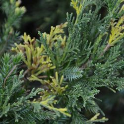 Juniperus chinensis 'Expansa Aureospicata'