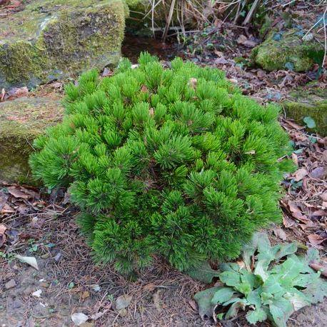 Pinus heldreichii 'Schmidtii'