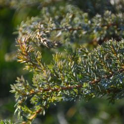 Juniperus communis 'Corielagan'