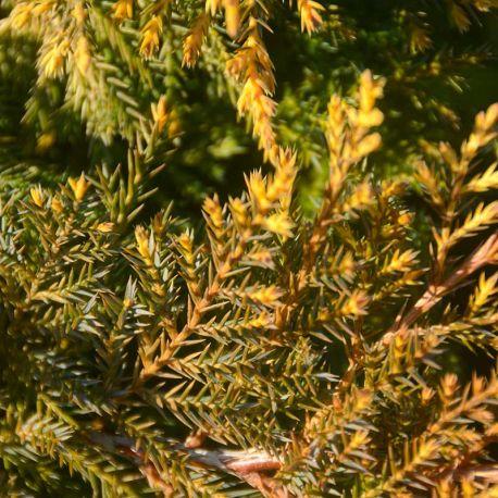 Juniperus x pfitzeriana 'Golden Saucer'