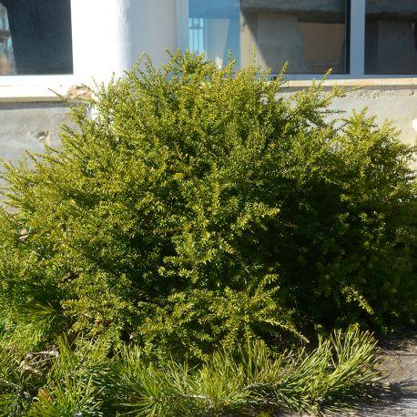Podocarpus nivalis