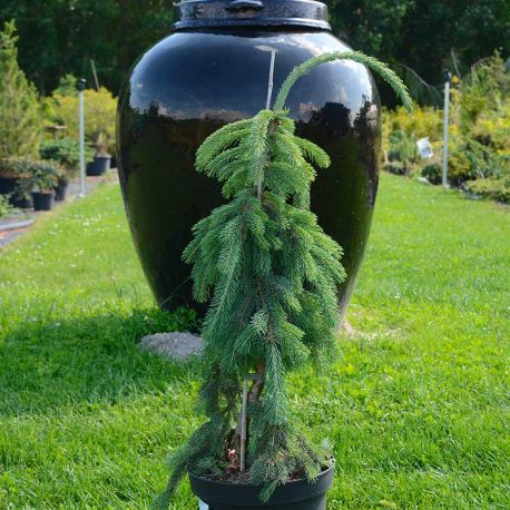 Picea glauca 'Pendula'