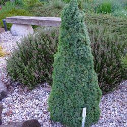 Picea glauca 'Lilliput'