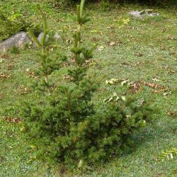 Picea abies 'Lucky Strike'