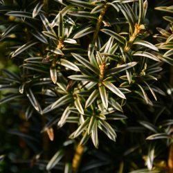 Taxus baccata 'Ivory Tower'