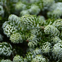 Abies koreana 'Kohout s Ice Breaker'