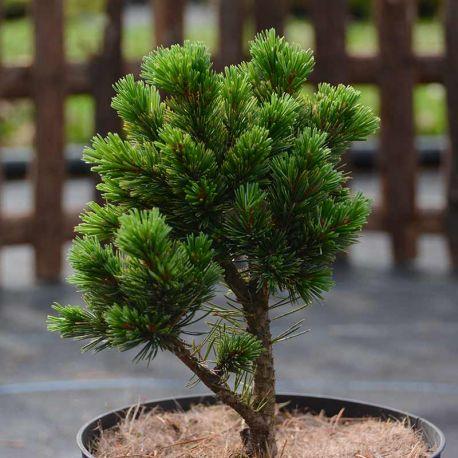 Pinus aristata 'Sherwood Compact'