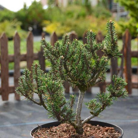Pinus mugo 'Kissen'