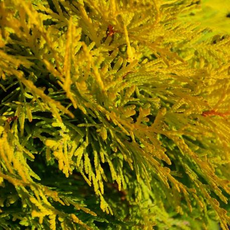 Thuja occidentalis 'Amber Glow'