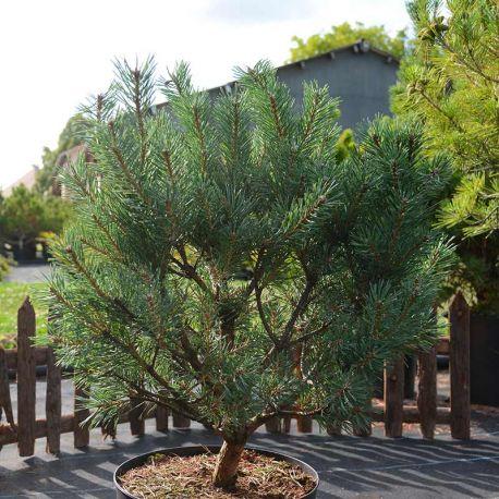 Pinus sylvestris 'Watereri'