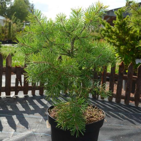 Pinus sylvestris 'Meffengowd'.