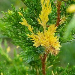 Juniperus chinensis 'Variegated Kaizuka'
