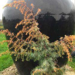 Juniperus communis 'Kalebabe'