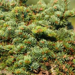 Abies magnifica 'Mount Si'