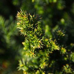 Cryptomeria japonica 'Pipo'