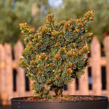 Picea glauca 'Cecilia'