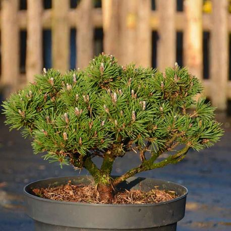 Pinus mugo 'Kladská'