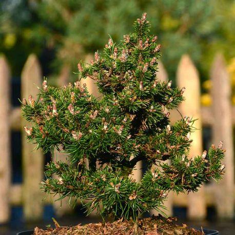 Pinus mugo 'Minima Kalous'