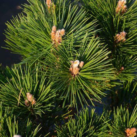 Pinus thunbergii 'Maijima'