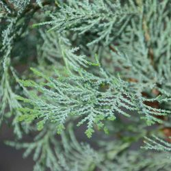 Chamaecyparis lawsoniana 'Penbury blue'