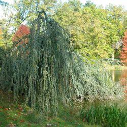 Cedrus atlantica 'Glauca pendula' - Parc du château de Courson