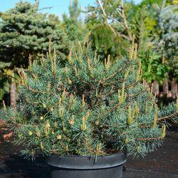 Pinus sylvestris 'Repens'