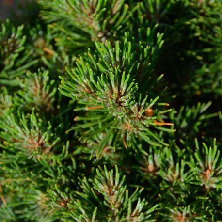 Pinus mugo 'Leucolike'