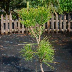 Pinus thunbergii 'Ogon'