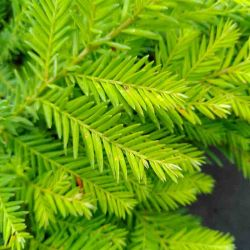 Sequoia sempervirens 'Kelly s prostate'