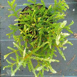 Sequoia sempervirens 'Prostrata'