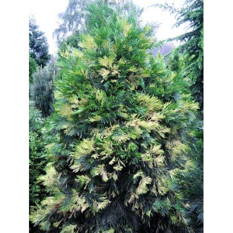 Calocedrus decurrens 'Aureovariegata'