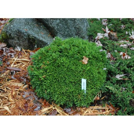 Chamaecyparis lawsoniana 'Green Globe'